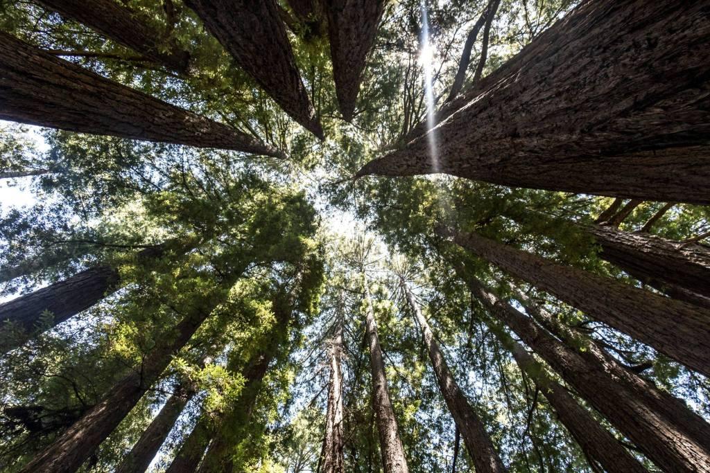 Mammutbäume im Henry Cowell Redwoods State Park